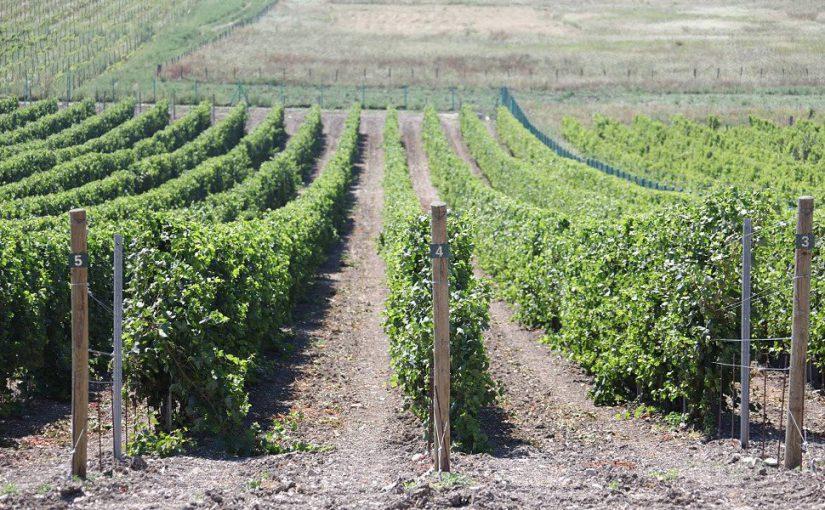 Три новороссийских предприятия будут выпускать вина с защищенным географическим указанием