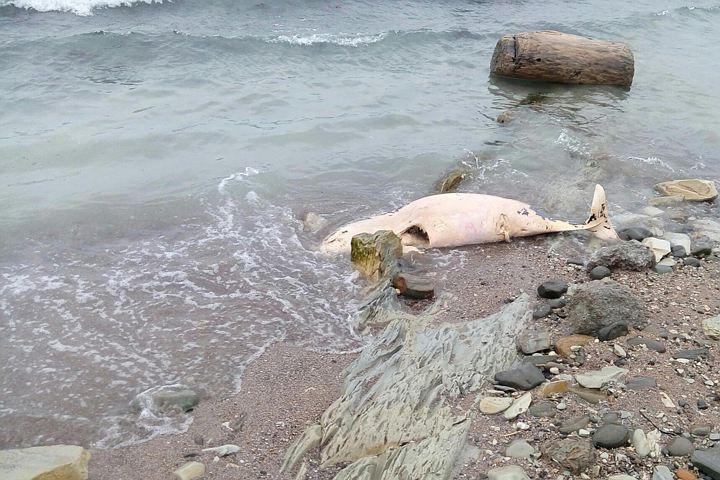Мертвые дельфины Новороссийска уронили рейтинг Кубани