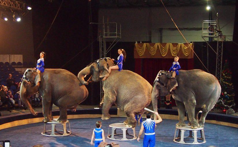 Слоны из циркового шоу, которых не пустили в Новороссийск, гуляли по Краснодару
