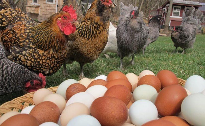 Новороссийские куры снесли миллионы яиц