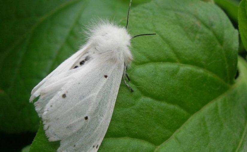 Как ни боролись с белой бабочкой в Новороссийске, ей пока все нипочем