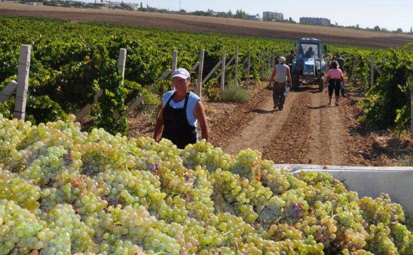 Новороссийцев пугает перепроизводство винограда