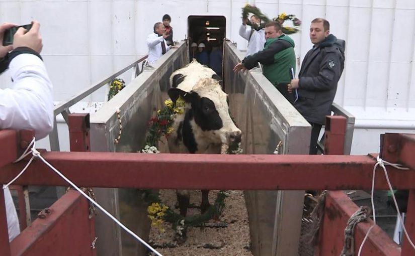В порту Новороссийск с судна сходили коровы в венках