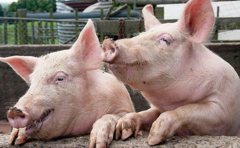 Новороссийцам разрешают держать по 5 свиней, а в Борисовке нашли 10 — без прививок