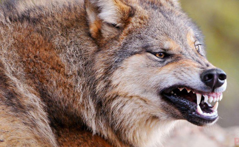 В Новороссийске подстрелили волка, нападавшего на стада