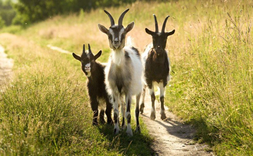 В Новороссийске у 3 овечек и 12 коз появится породистая наставница