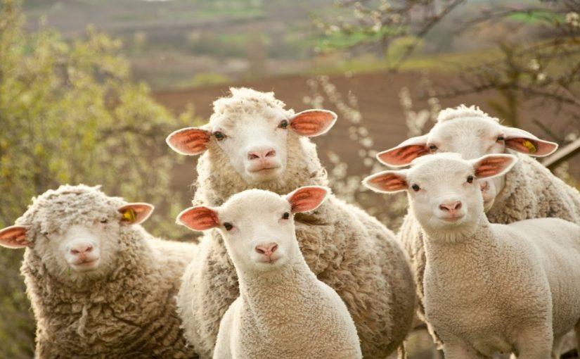 В Новороссийске ищут овечье стадо для собаки