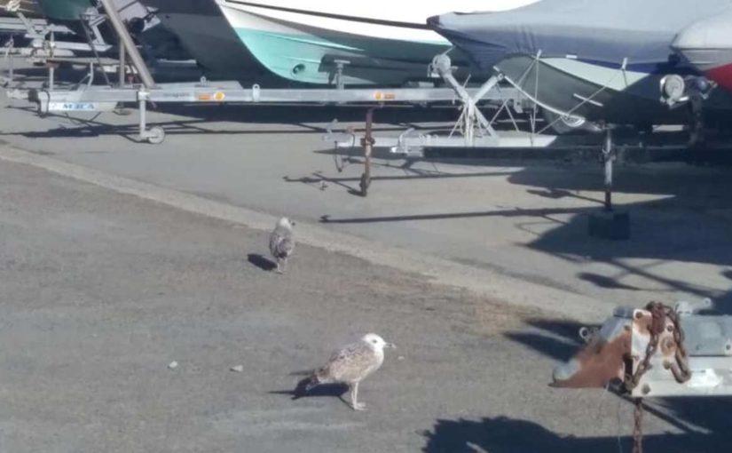 В яхт-клубе Новороссийска взяли шефство над чайками-пешеходами