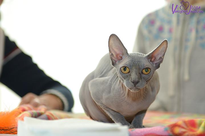 В библиотеке Новороссийска научили одевать котов в новогодние костюмы