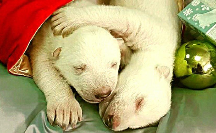 В сафари-парке Геленджика открылись глазки у двух белых медвежат
