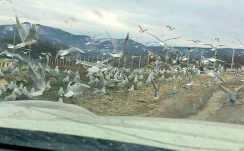 «Миллионы» чаек Новороссийска прилетели на мусорный полигон