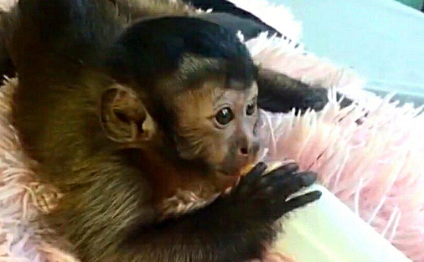 В Новороссийске обезьянку носят на работу в капюшоне (видео)