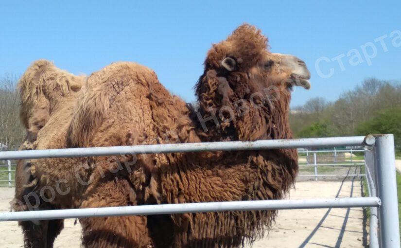 Плюется ли верблюд в зоопарке «Додо» (видео)