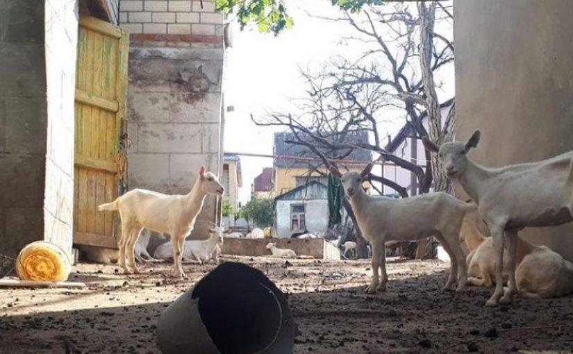 Почему в Борисовке нельзя держать коз, а в других селах можно завести корову