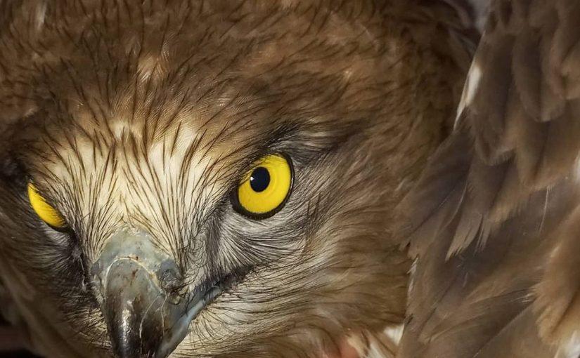 В Краснодаре прооперировали орла, который столкнулся с ЛЭП в Новороссийске